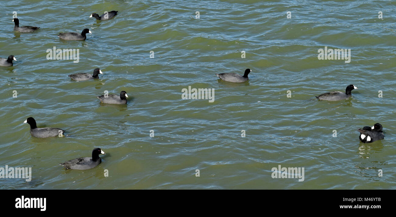 American Coots, Fulica americana, on Lake Elizabeth, Central Park,  Fremont, California, - Stock Image