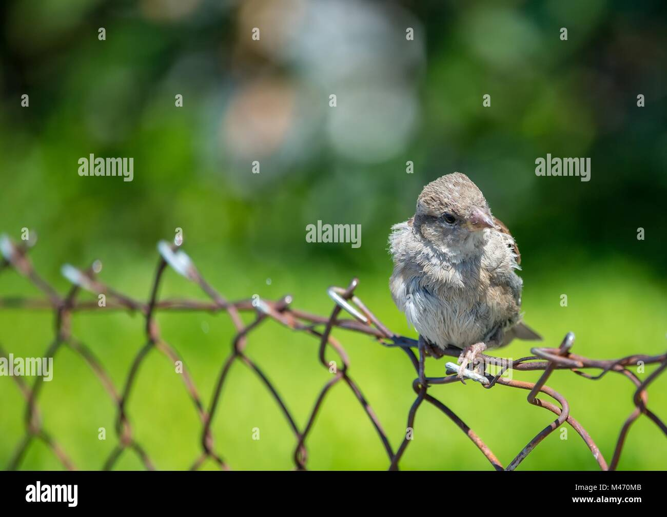European oscine bird sitting on a fence in Germany - Stock Image