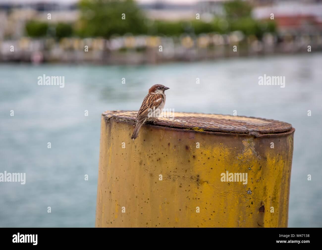 European oscine bird sitting on a pole in Germany - Stock Image