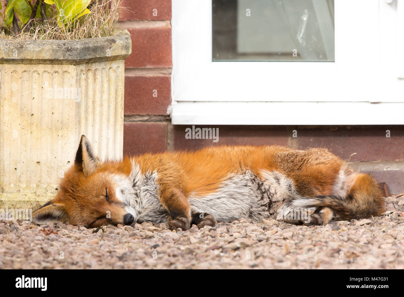 Kidderminster, UK. 15th February, 2018. UK weather: an urban fox takes a long rest in a quiet Worcestershire garden, - Stock Image