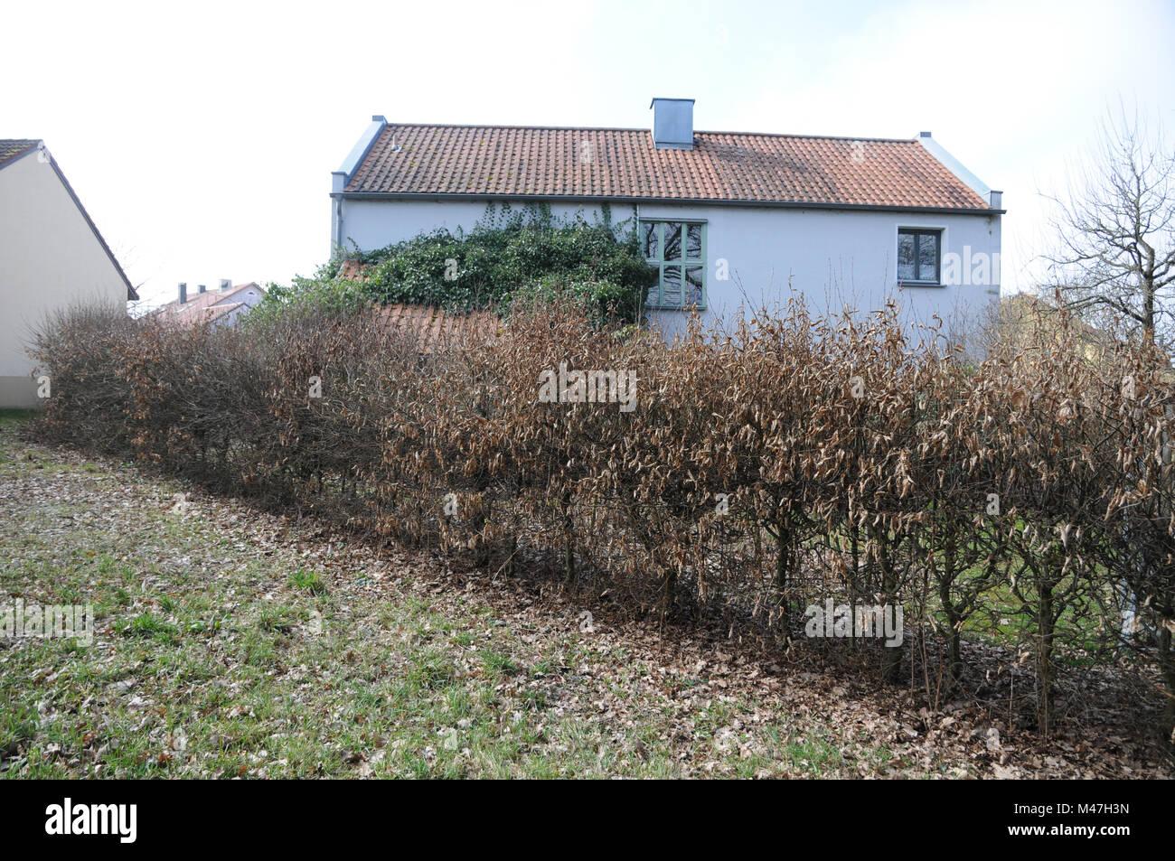 Carpinus betulus, Hornbeam, hedge bevor cutting - Stock Image