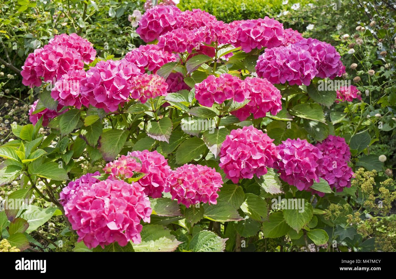 hydrangeas - Stock Image