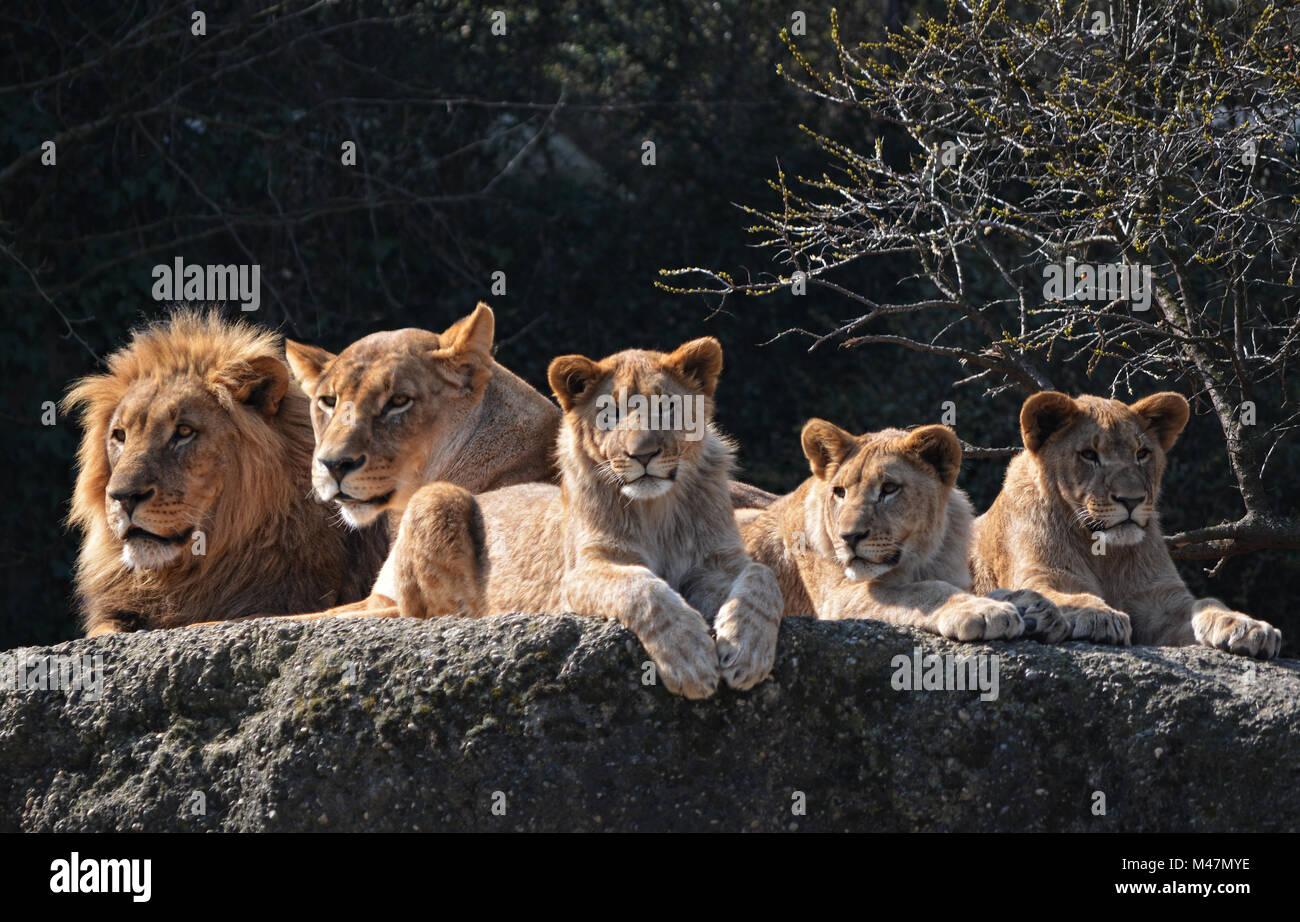 Lions familiy - Stock Image
