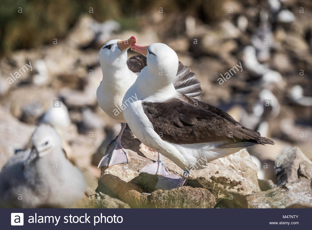 Pair of courting black-browed albatross touching beaks - Stock Image