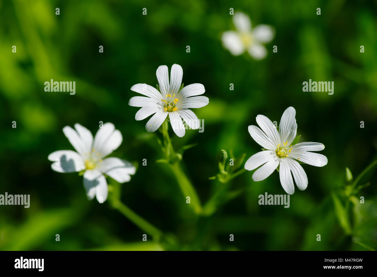 Small white spring flowers stock photo 174734473 alamy small white spring flowers mightylinksfo