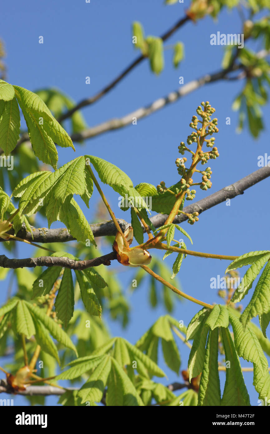 Aesculus hippocastanum, Horse chestnut, young shoots Stock Photo