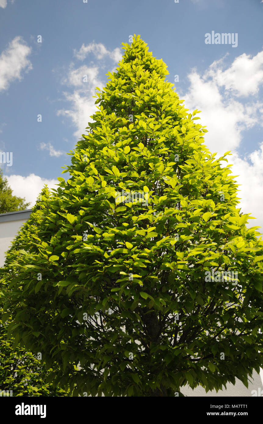 Carpinus betulus, Hornbeam, Formschnitt, topiary - Stock Image