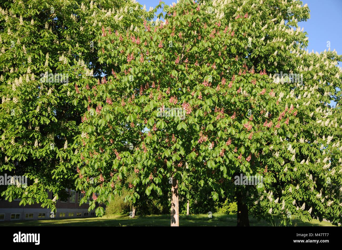 Aesculus x carnea Briotii, Redflowering horse chestnut Stock Photo