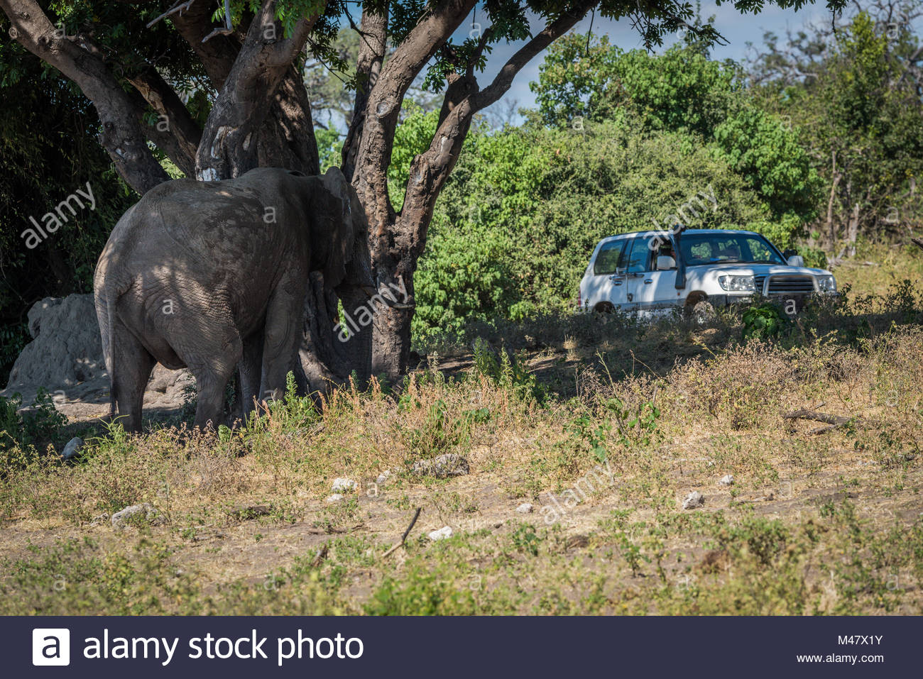 Elephant under tree watched by jeep passengers - Stock Image