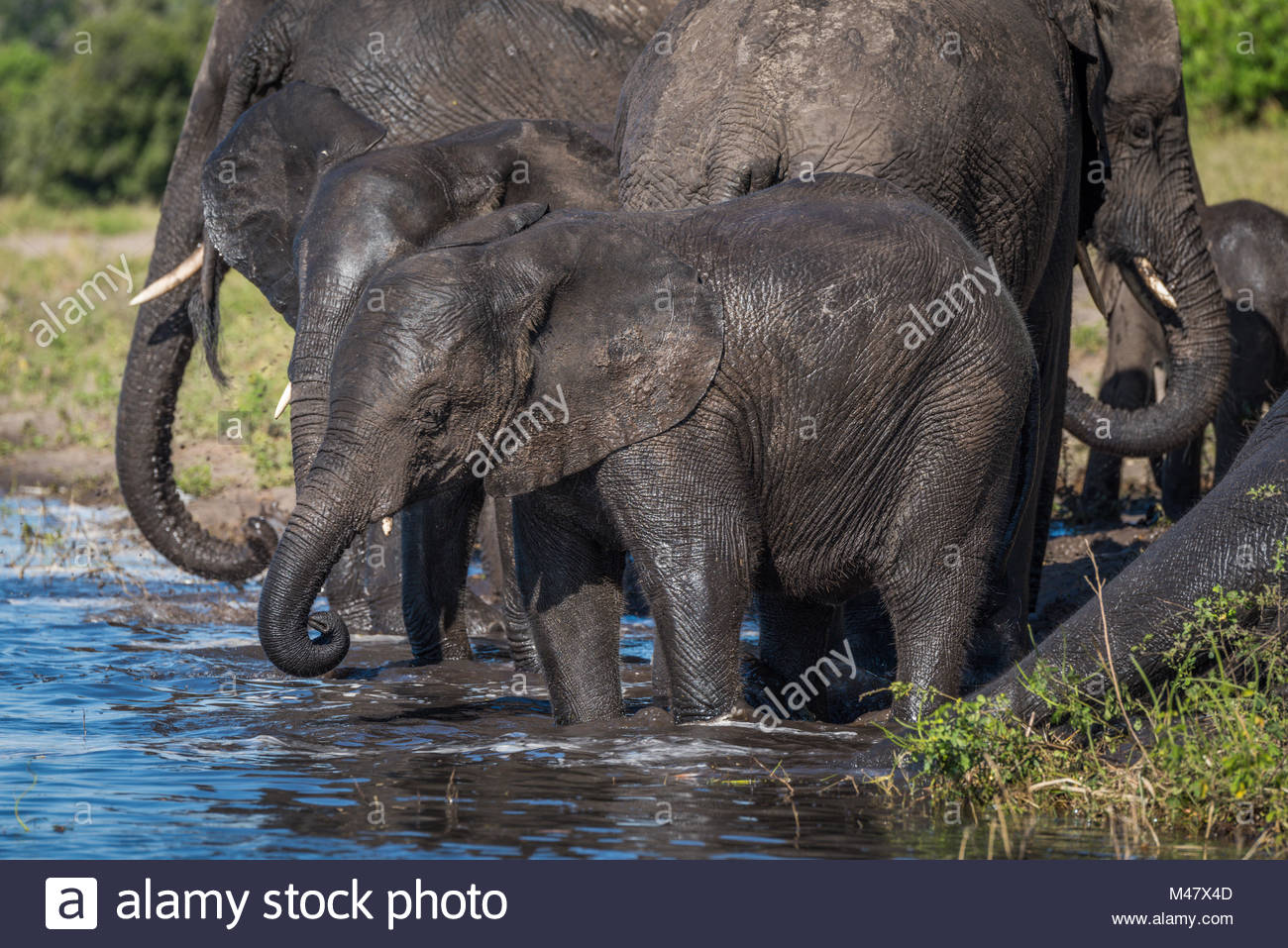 Herd of elephants drinking water in shallows Stock Photo