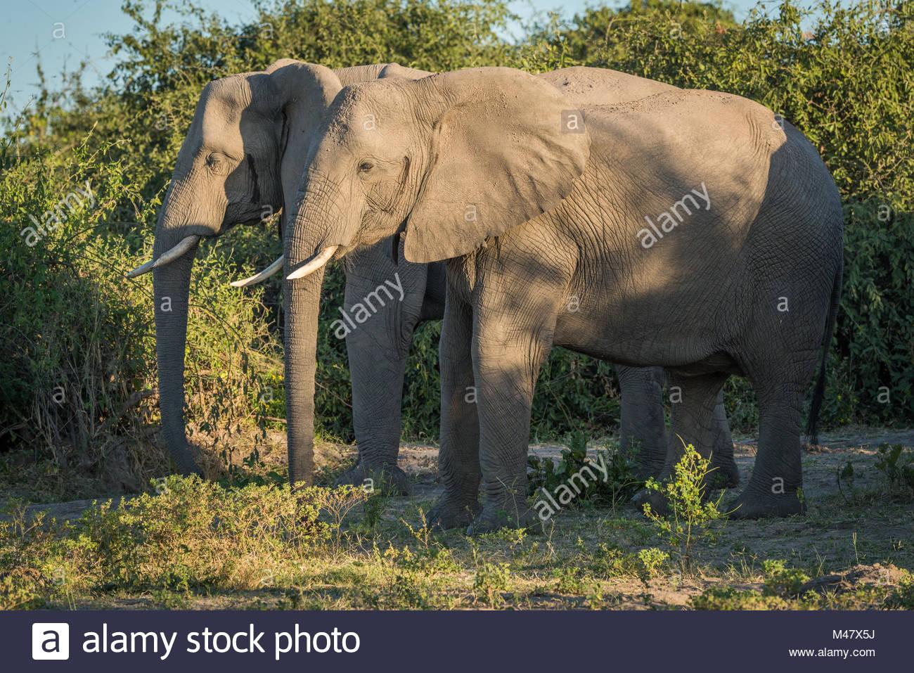 Two elephants standing side-by-side in dapple sunlight - Stock Image