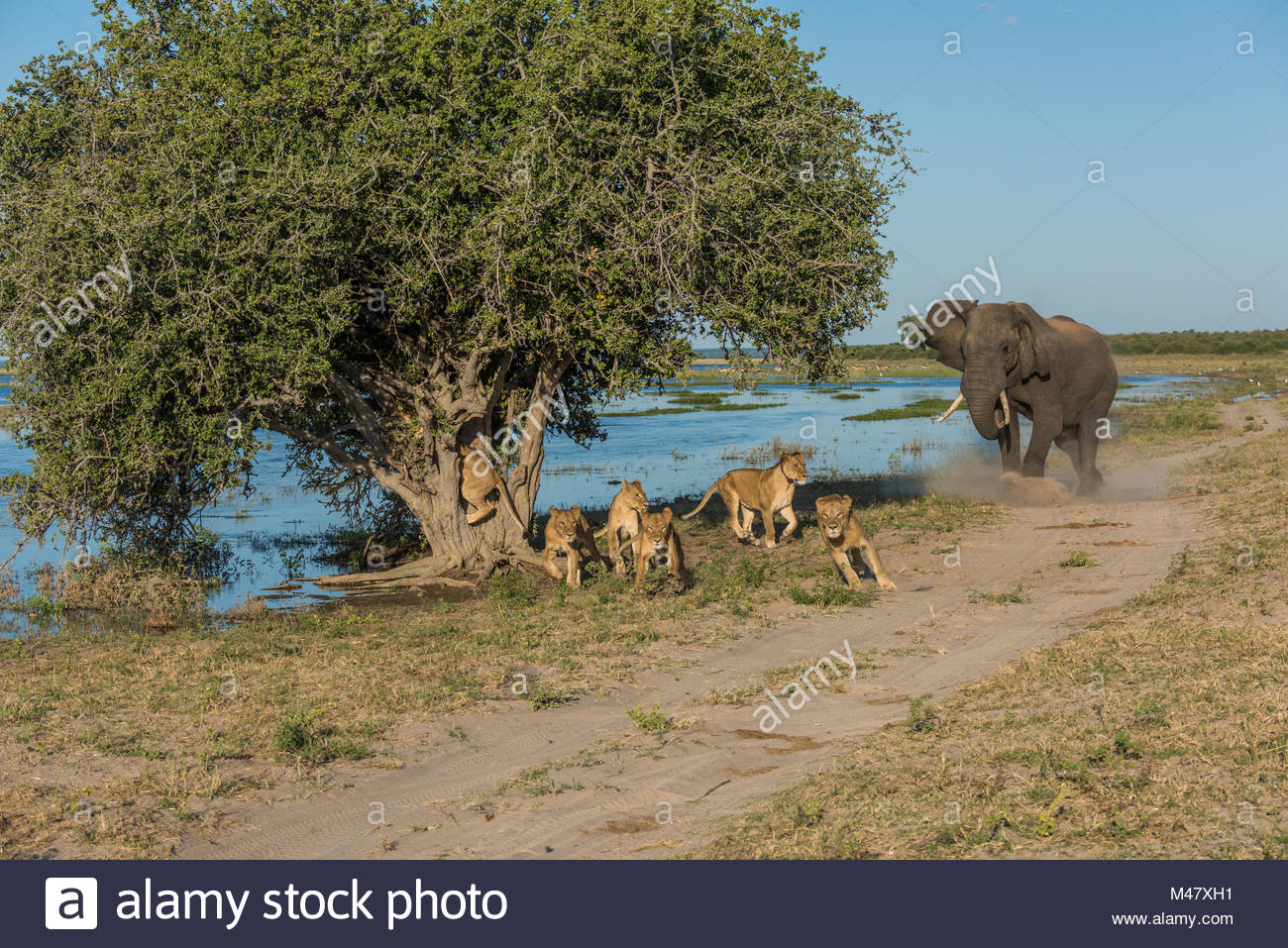 Elephant chases six lions away from tree Stock Photo