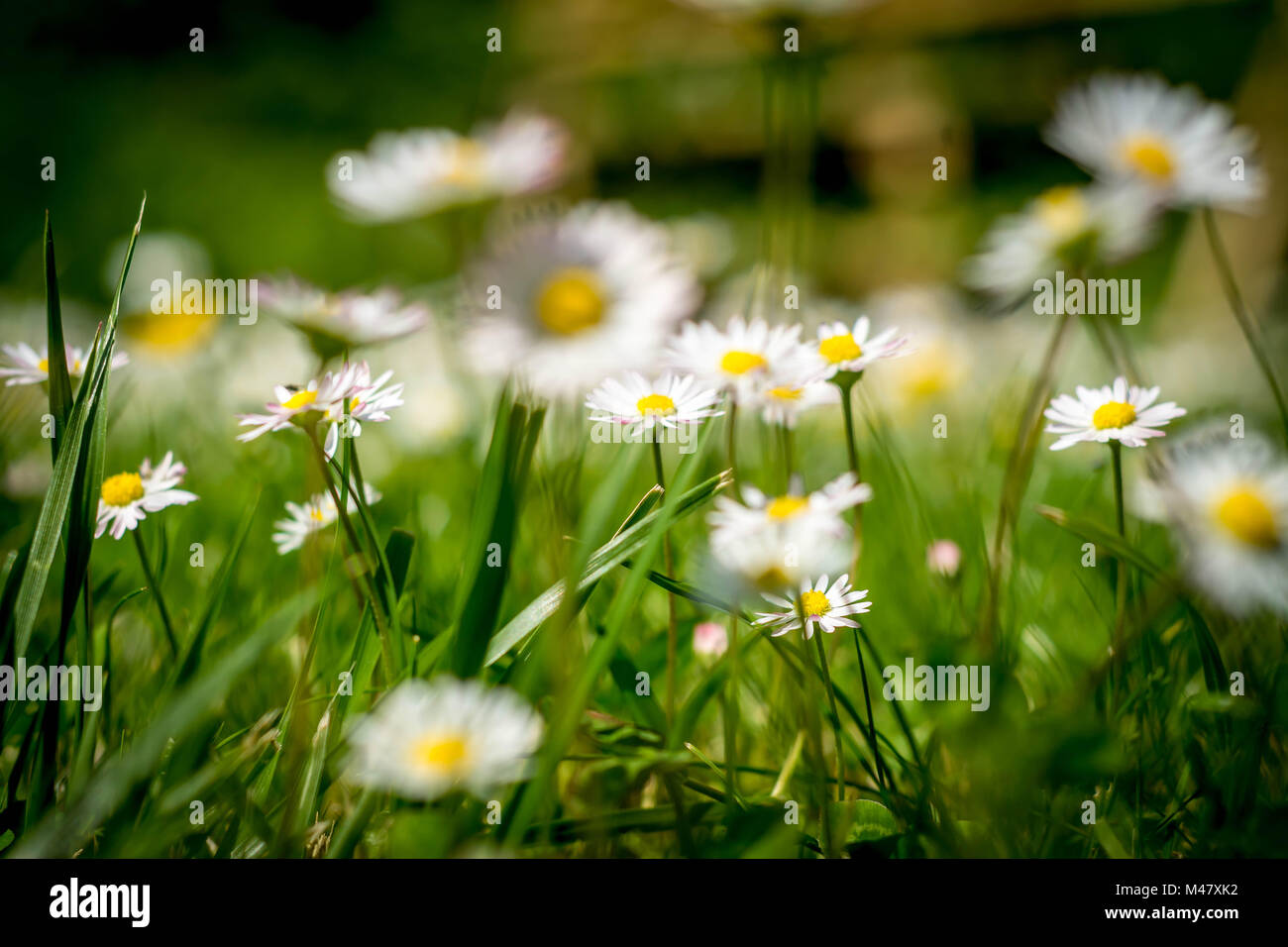 dandelions on a medow - second version - Stock Image