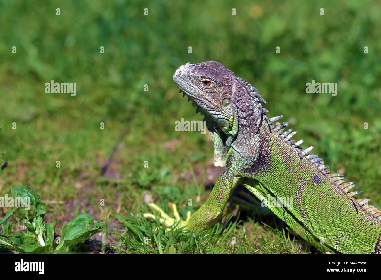 Green iguana - large herbivorous lizard close up - Stock Image