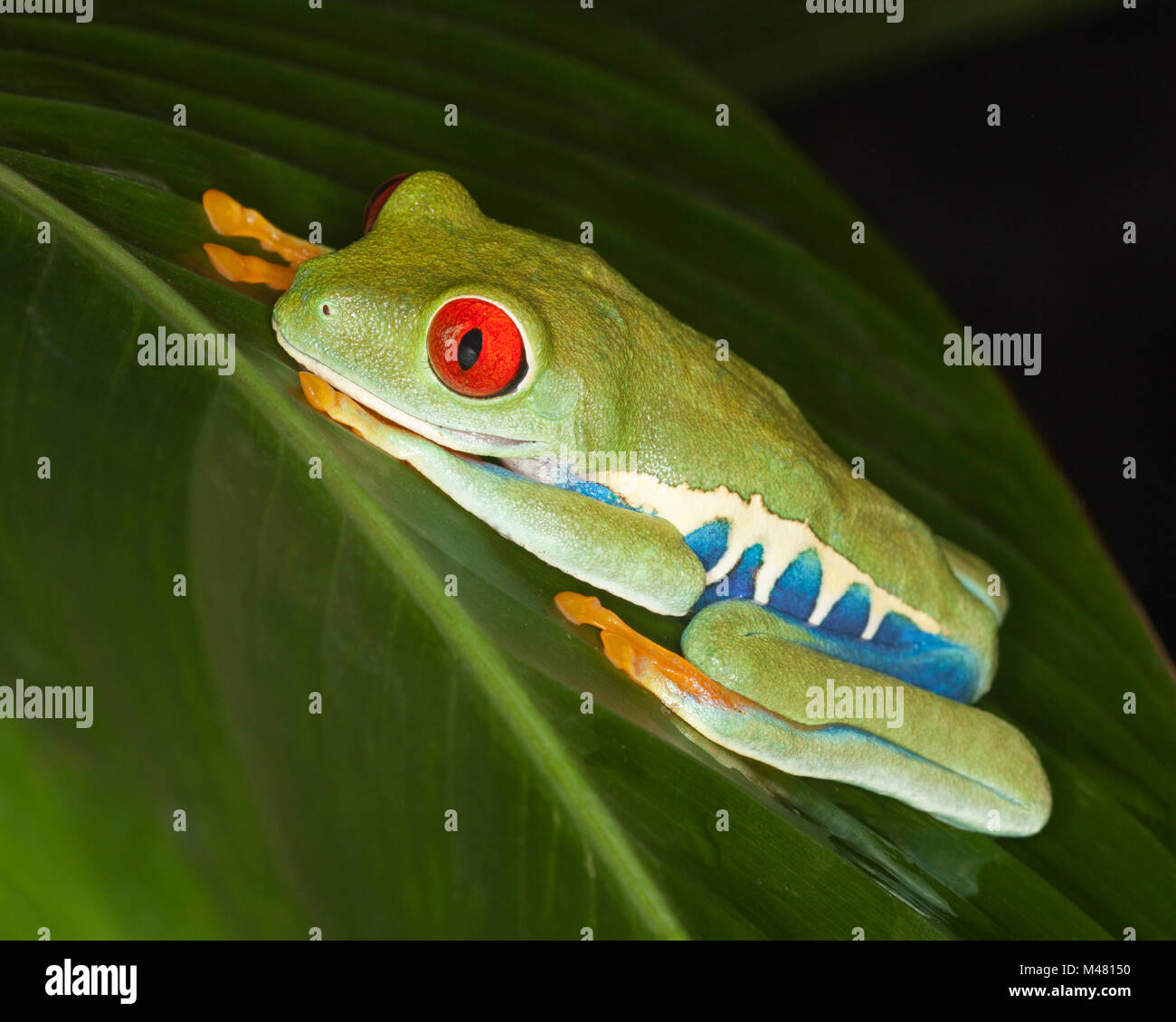 Red-eyed Tree frog (Agalychnis callidryas)on rainforest leaf, also known as Red-eye Leaf Frog Stock Photo