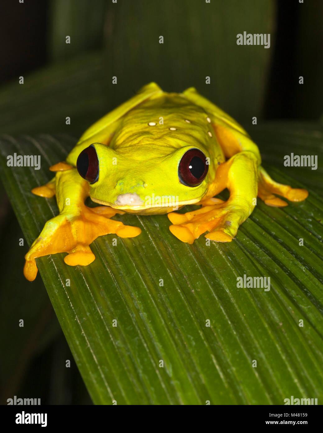 Gliding Treefrog, also known as Flying Leaf Frog or Spurrell's leaf frog (Agalychnis spurrelli) on leaf Stock Photo