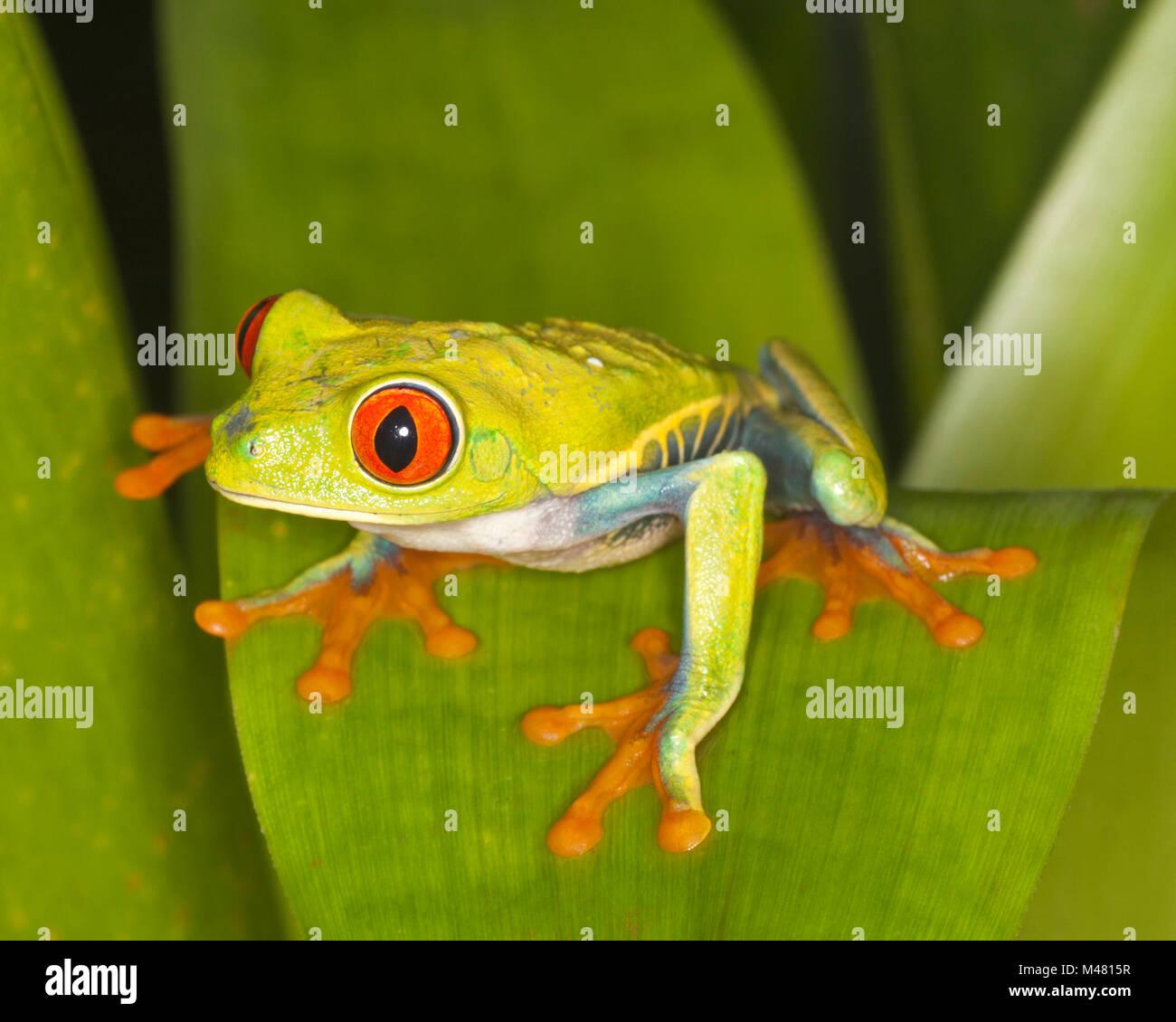 Red-eyed Tree frog (Agalychnis callidryas)on rainforest leaf, also known as Red-eye Leaf Frog - Stock Image
