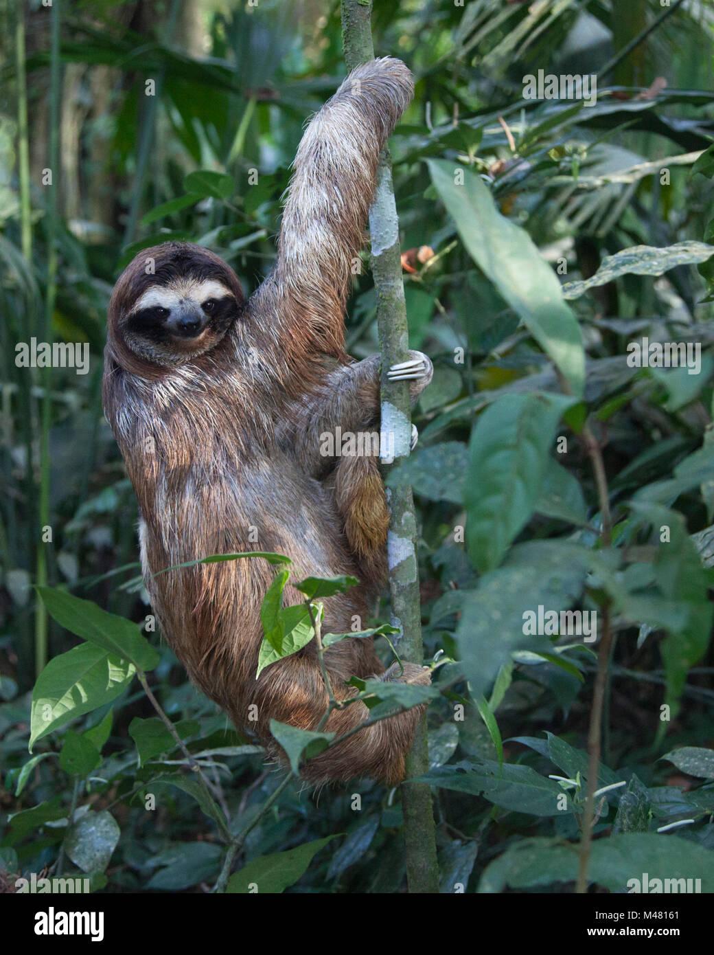 Brown-throated Three-toed Sloth (Bradypus variegatus) climbing tree in sloth sanctuary Stock Photo