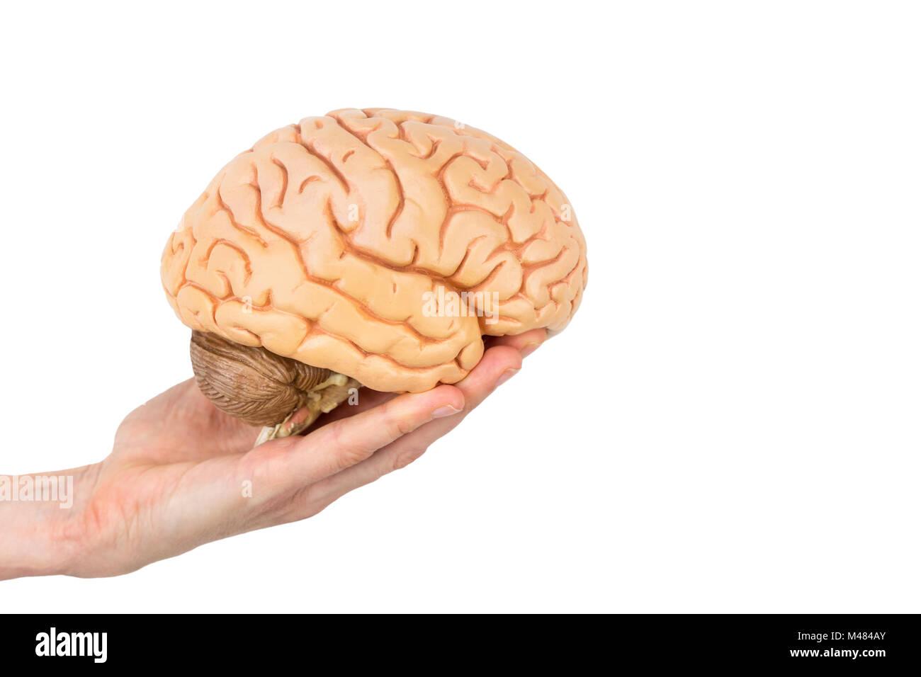 Hand holding model human brains isolated on white background - Stock Image