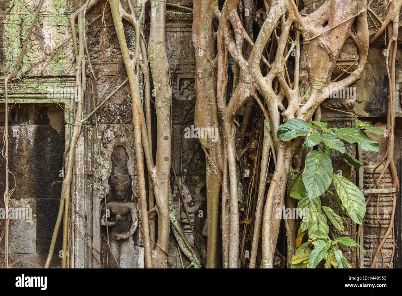 ancient  overgrown  temple ruins , Angkor Wat - Stock Image