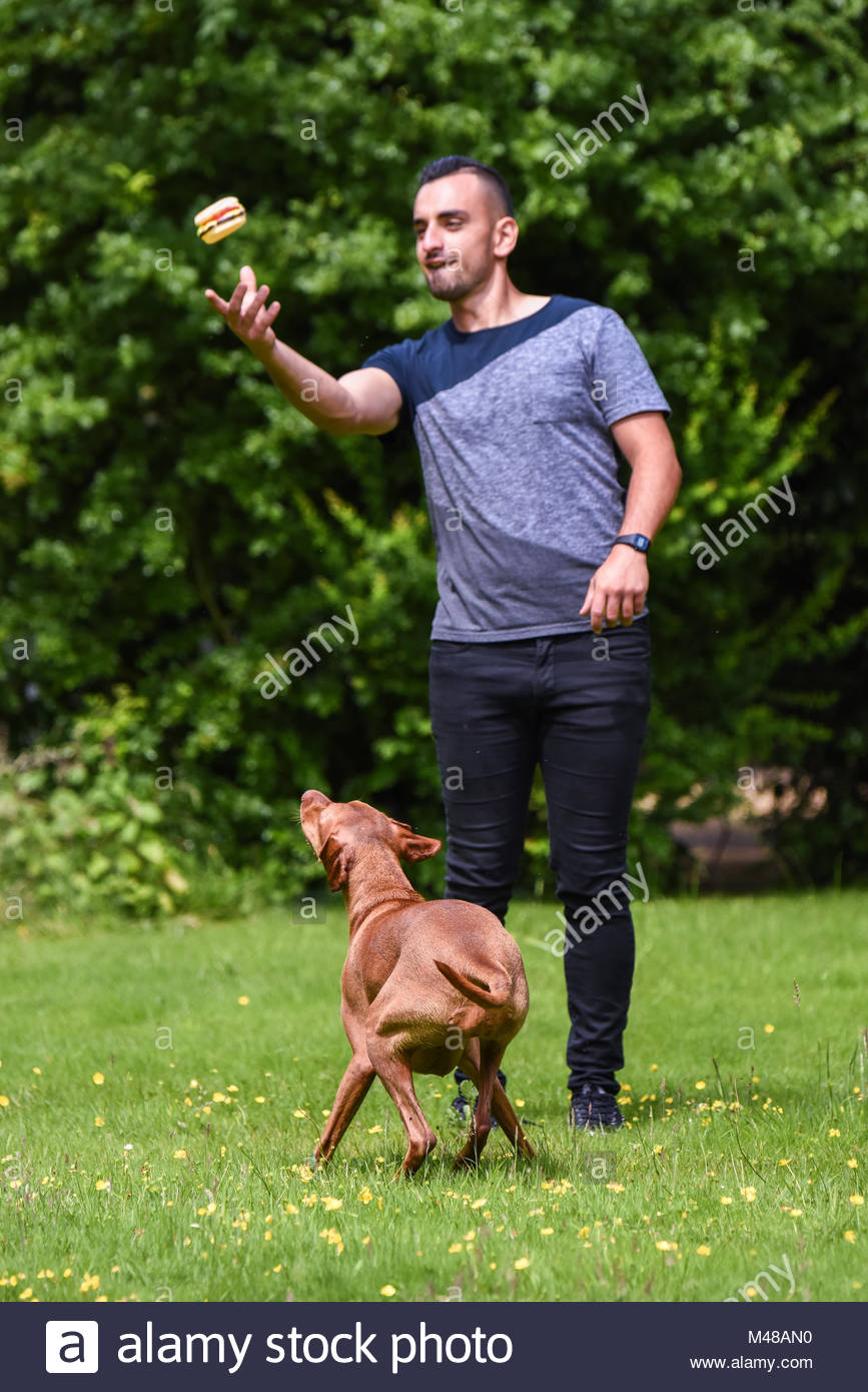 Man throws toy up for Hungarian Vizsla Stock Photo
