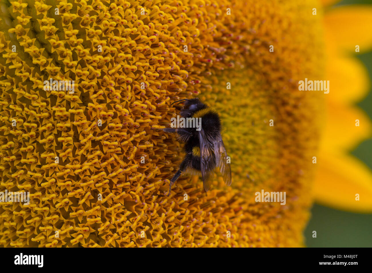 Detailed view of a bee on a Sunflower - Stock Image
