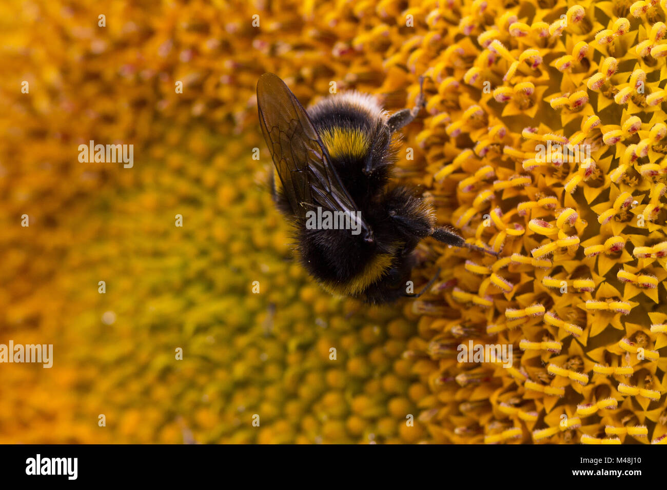 A bee feeding on the nectar of a sunflower - Stock Image
