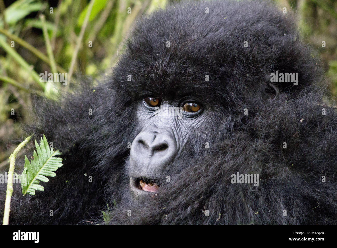 Young Gorilla in the Virunga National Park, Rwanda. - Stock Image