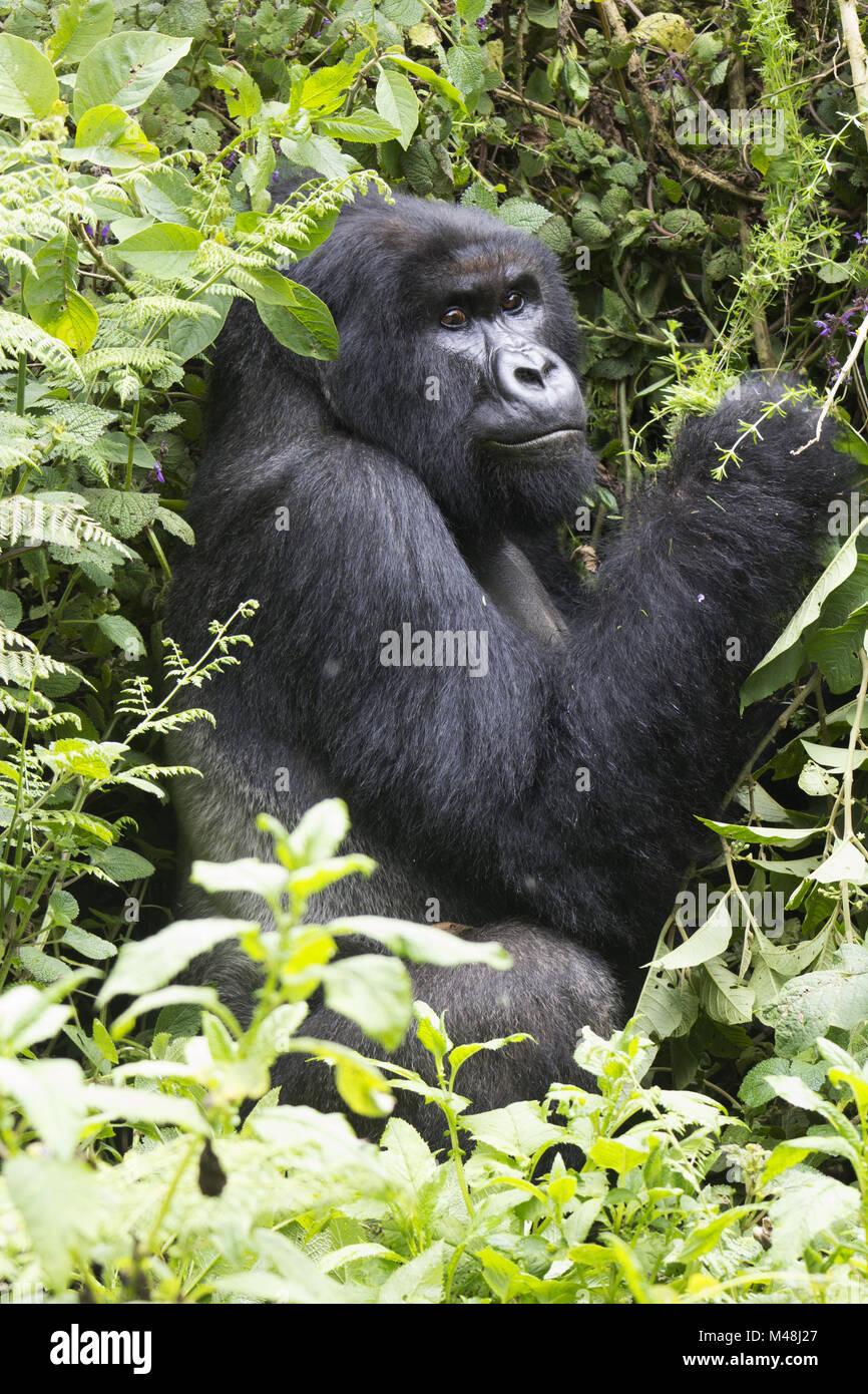Silverback Mountain Gorilla in the Virunga National Park, Rwanda. - Stock Image