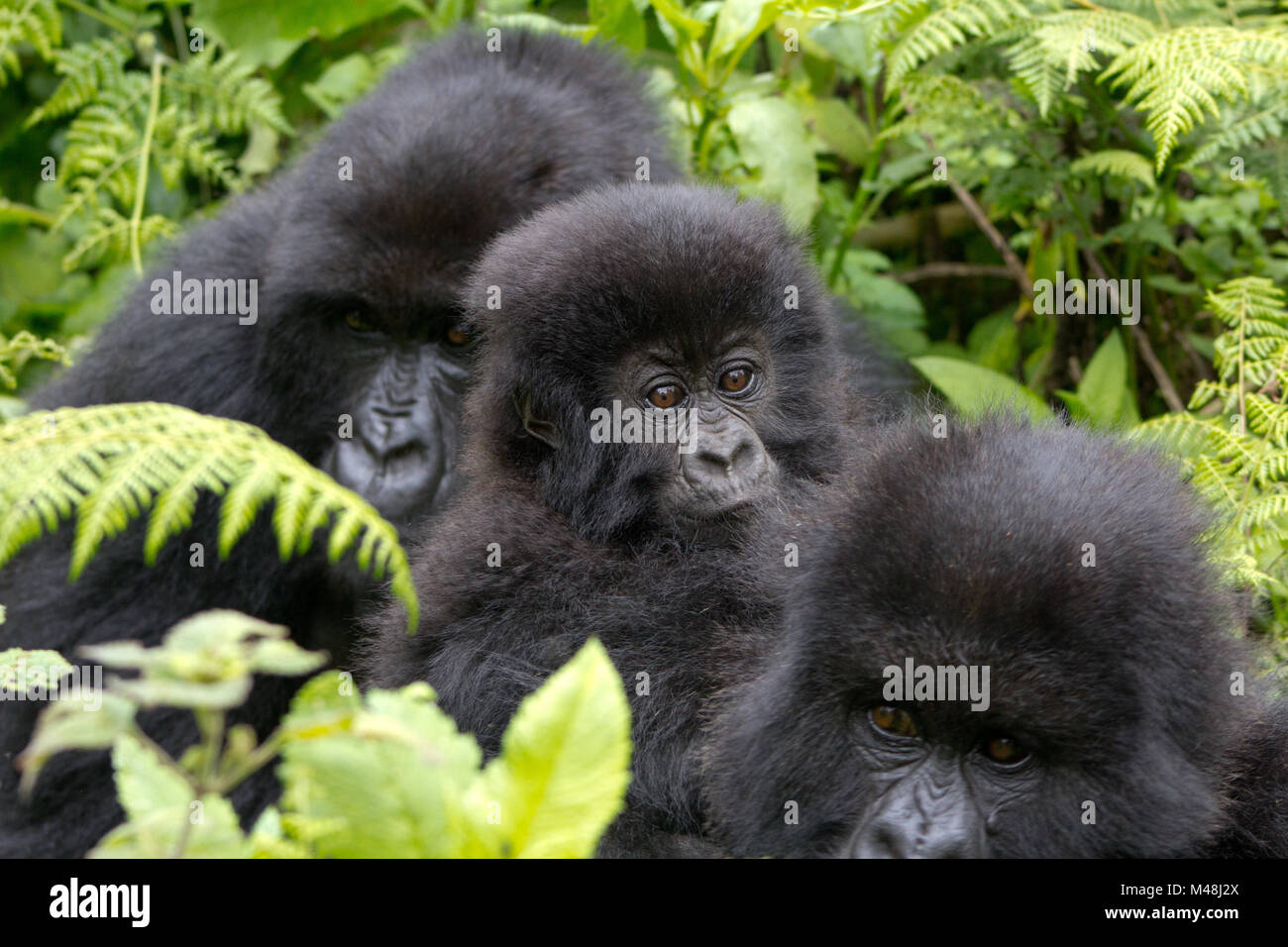 Three gorillas in the Virunga mountain region of Rwanda - Stock Image