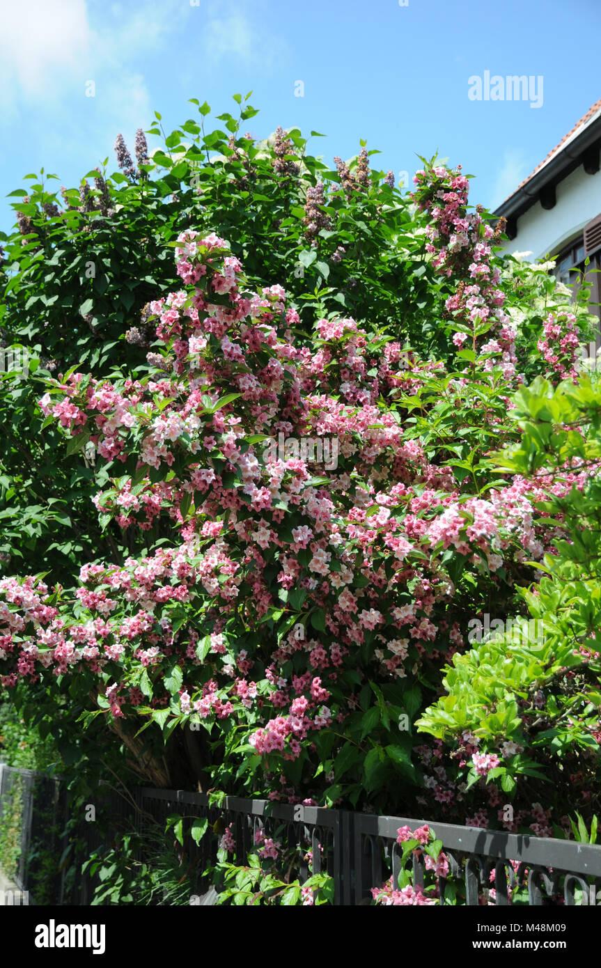 Weigelia florida, Syn. Weigelia rosea, Weigela - Stock Image
