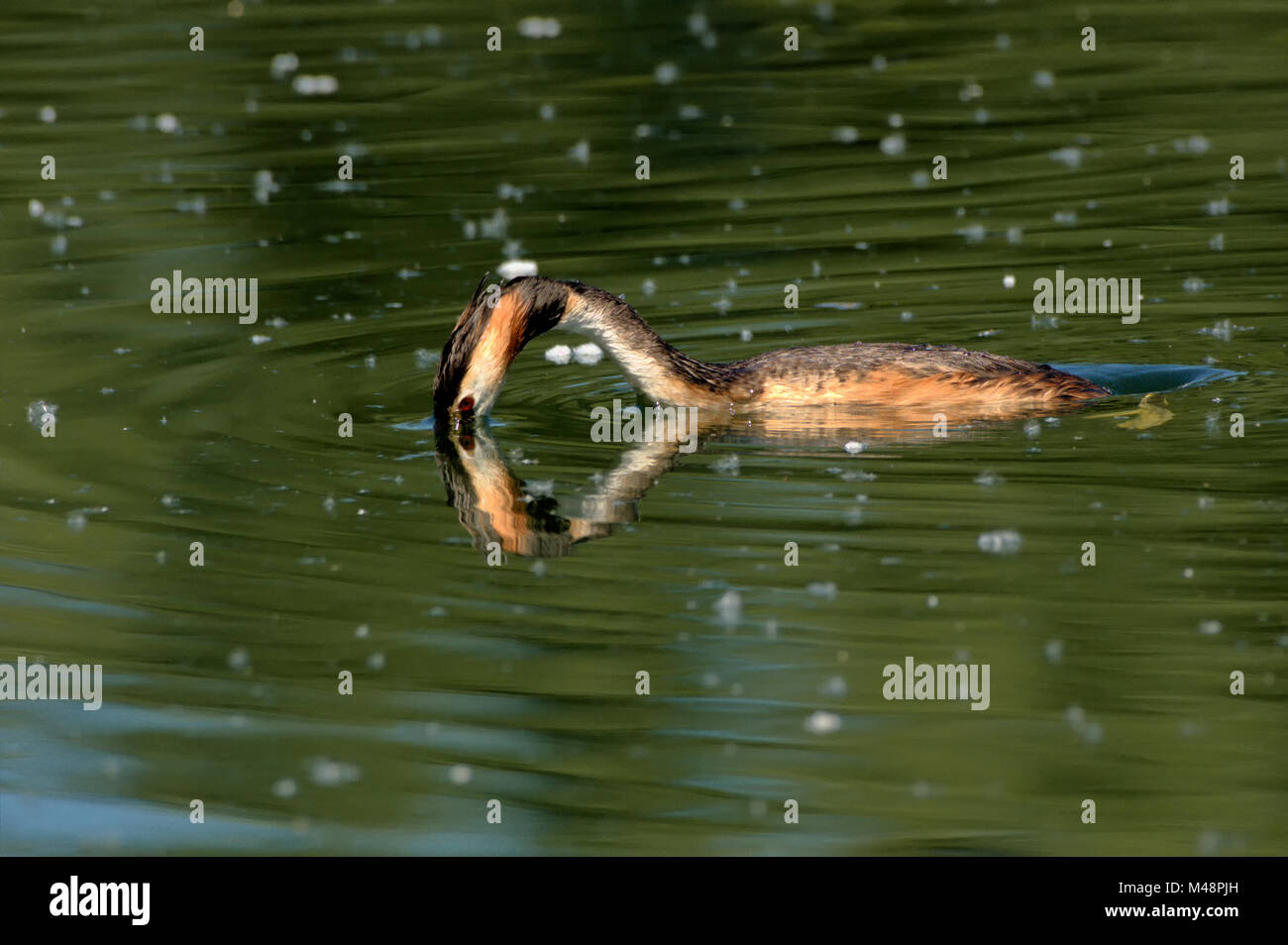 Great crested grebe diving - Stock Image