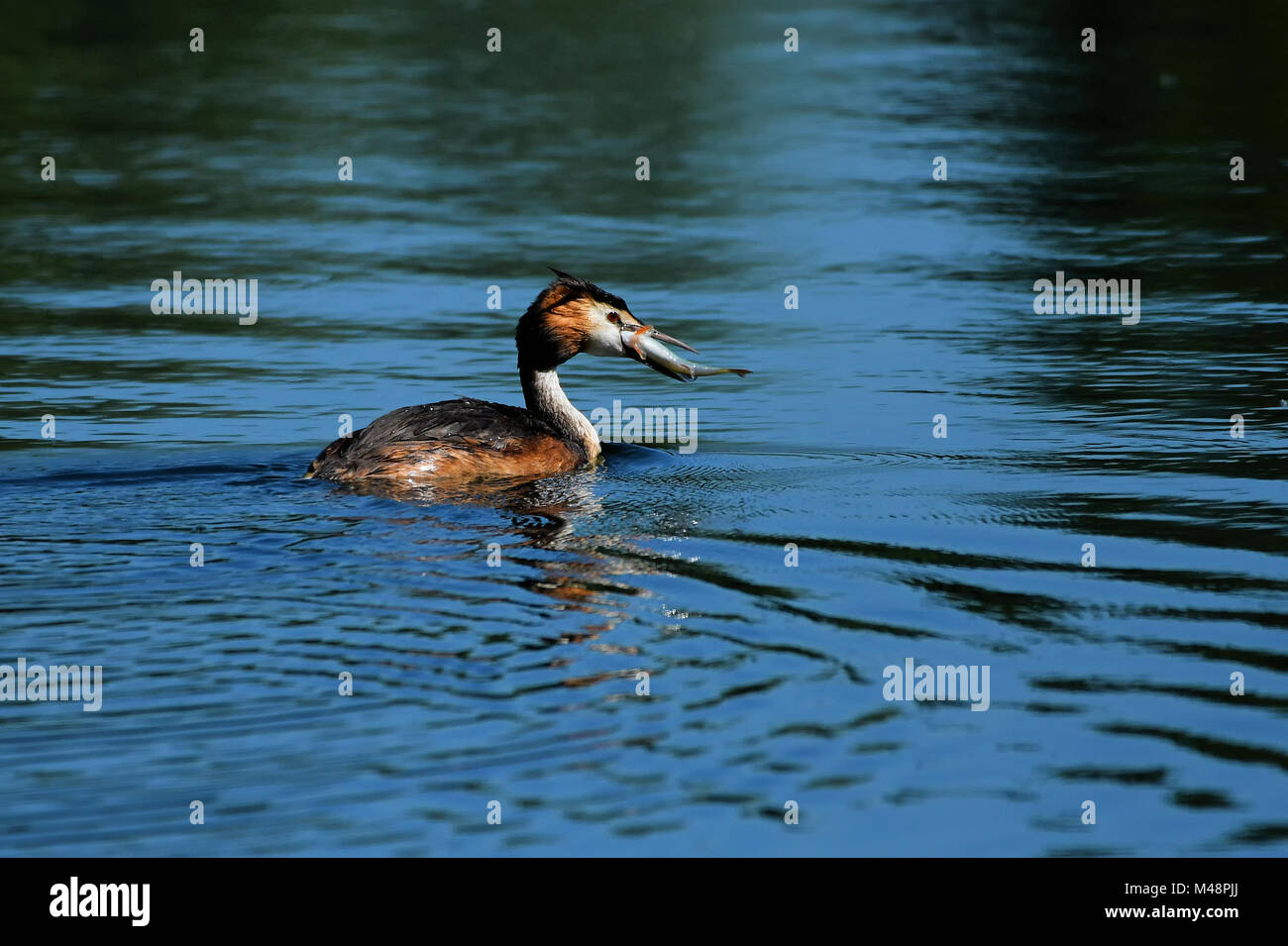 Great crested grebe with a fish - Stock Image