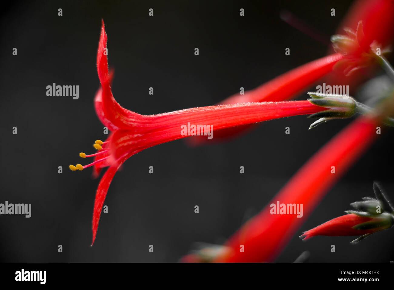 Skyrocket Gilia (Ipomopsis aggregata) - Stock Image