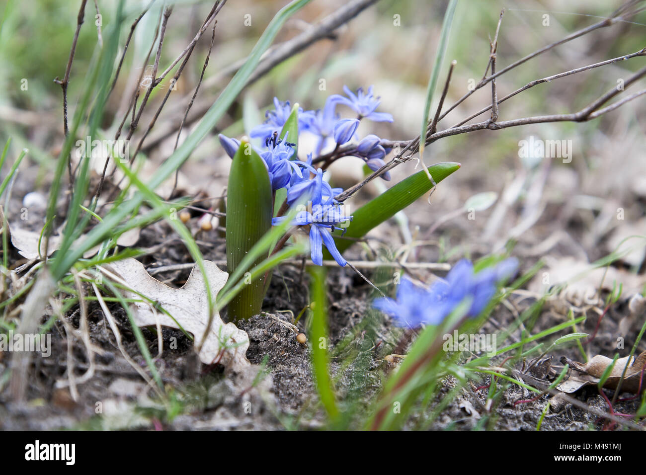 Wild Growing Blue Snowdrop Blue Early Spring Flower Stock Photo