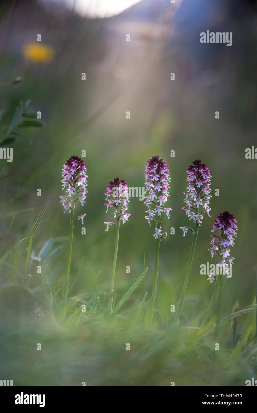Cluster of Burnt or Burnt-tip Orchids (Neotinea ustulata) in a Alpine meadow. Tyrol, Austria. - Stock Image