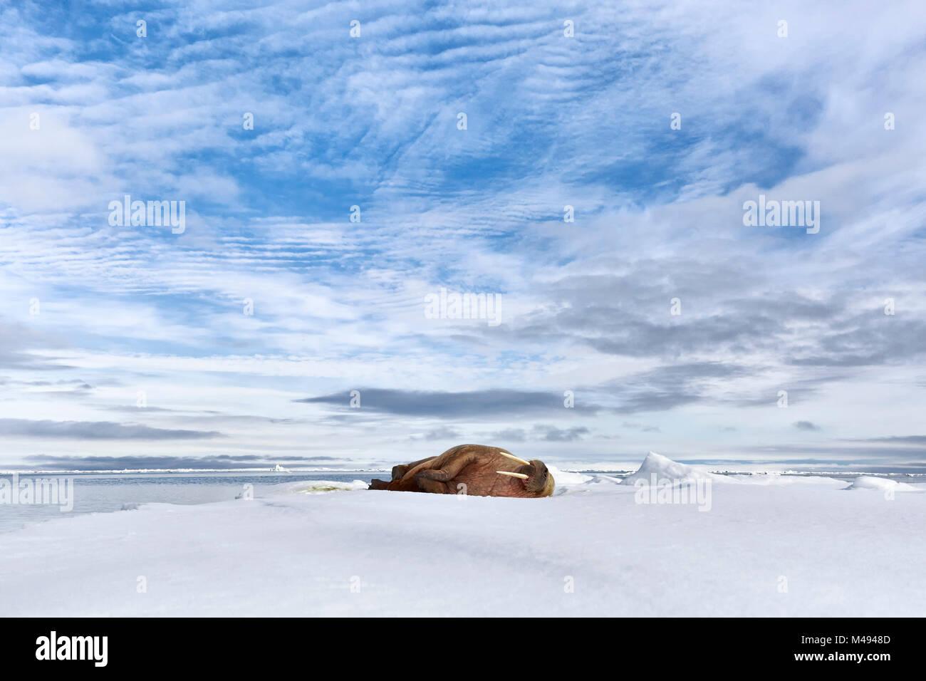 Atlantic walrus (Odobenus rosmarus rosmarus) sleeping on ice during a sunny summer evening in Svalbard, Norway, - Stock Image