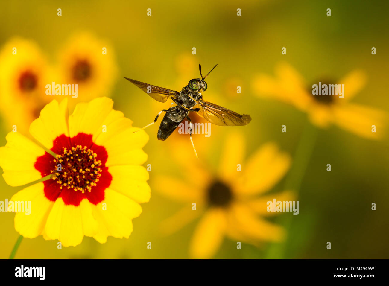 Black soldier fly (Hermetia illucens) flying from flower, Tuscaloosa County, Alabama, USA Controlled conditions. - Stock Image