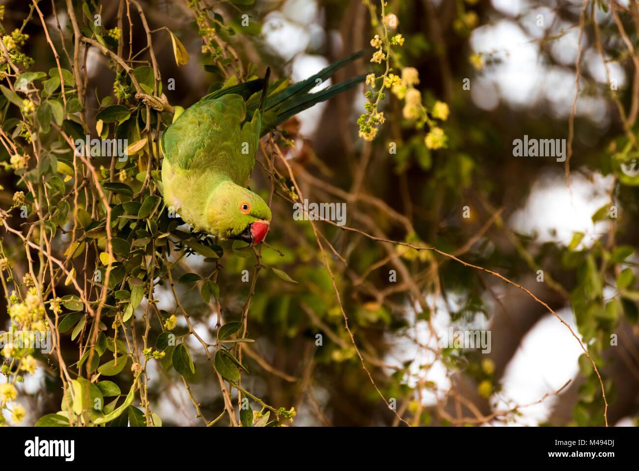 Rose-ringed parakeet female (parrot) swinging, eating on tamrind tree in Djibouti East Africa - Stock Image