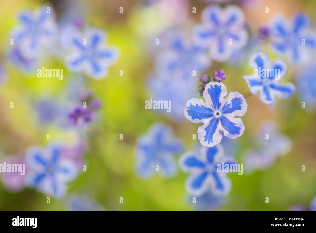 Cappadocian navelwort (Omphalodes cappadocica) native to Turkey and the Caucasus. Utrecht University Botanic Garden, - Stock Image