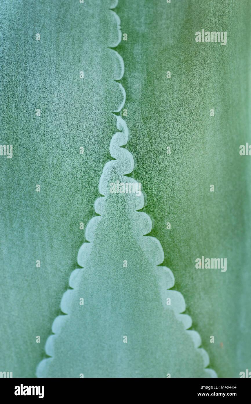 Agave (Agave felgeri) leaves, close up. Endemic plant  to Mexico. Meise National Botanic Garden of Belgium, Belgium, - Stock Image