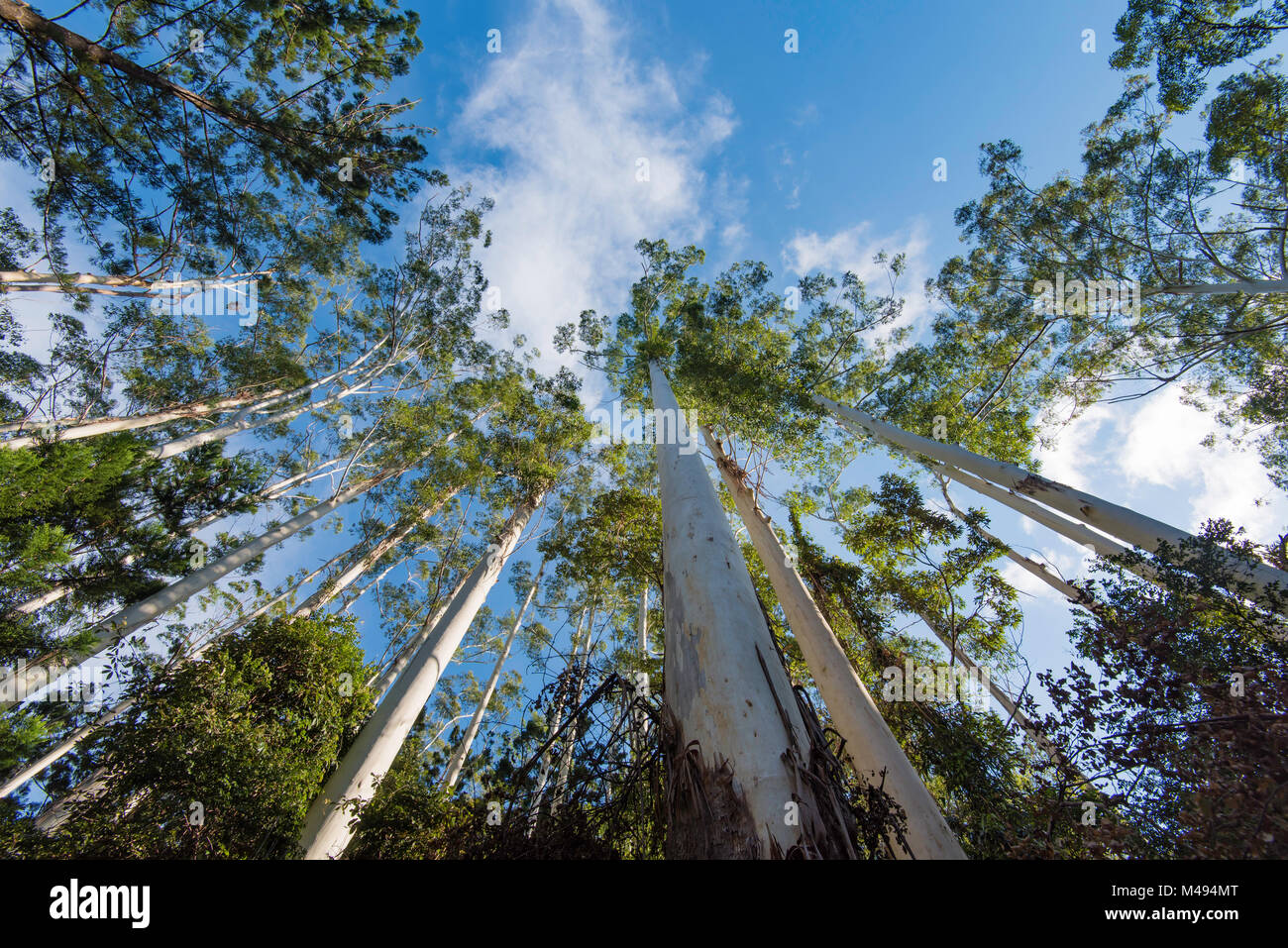 A stand of Eucalyptus grandis also known as the flooded gum or rose gum trees in Northern NSW, Australia - Stock Image