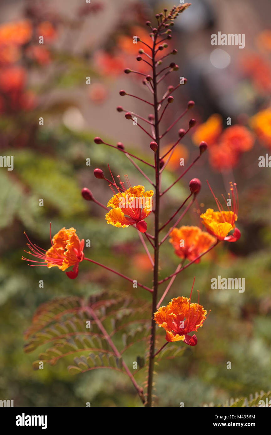Peacock flower, scientifically known as Caesalpinia pulcherrima - Stock Image