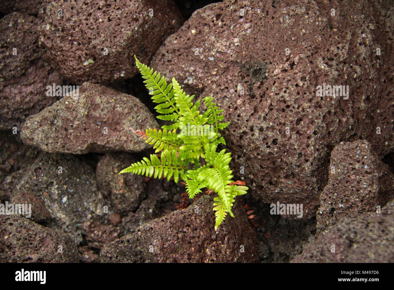 Fern growing in magma rocks - Stock Image