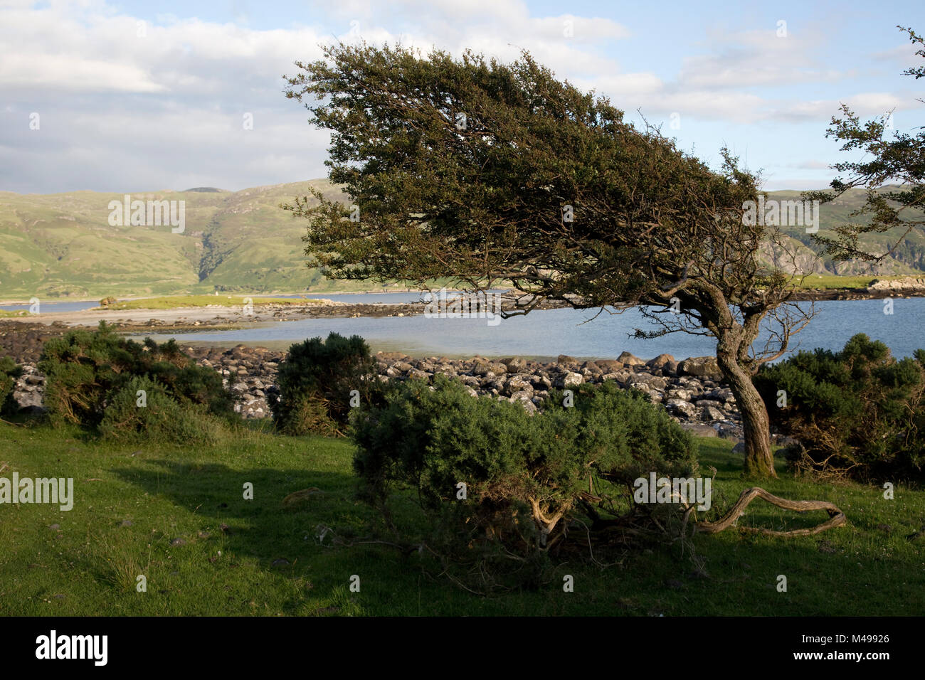 Hawthorn tree bent by prevailing wind Scotland UK - Stock Image
