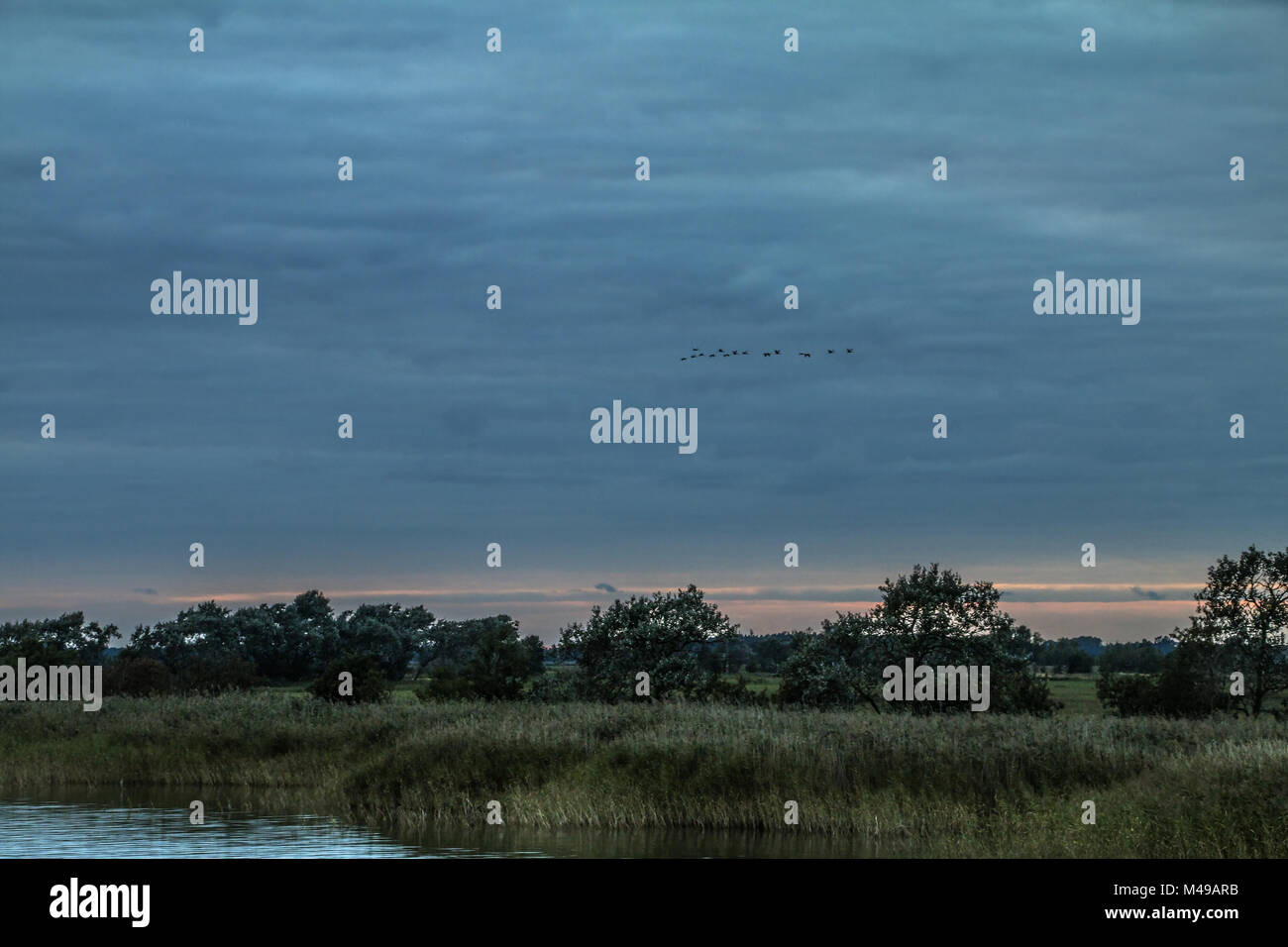 Cranes (slack grus) about the Boddenlandschaft (peninsula Fischland-Darss-Zingst) - Stock Image