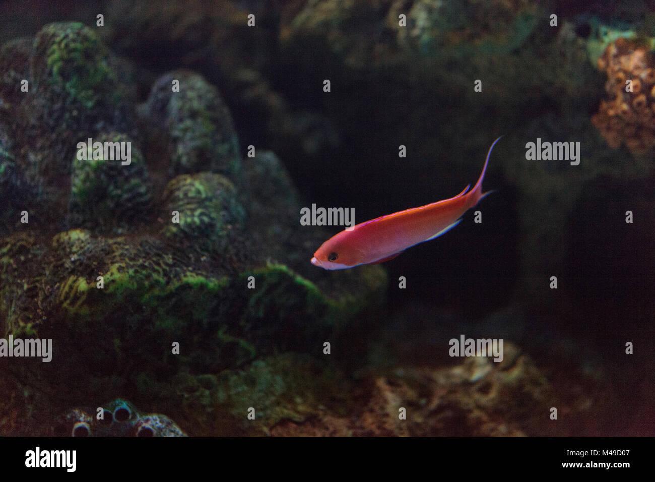 Pink Bicolor anthias fish Pseudanthias bicolor - Stock Image