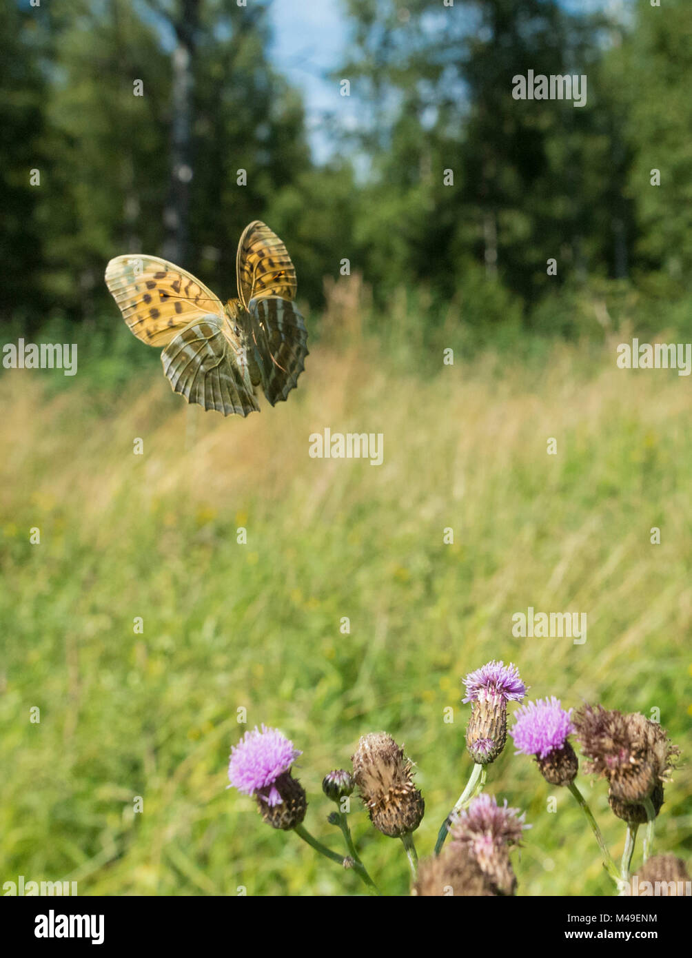 Silver washed fritillary butterfly  (Argynnis paphia) female in flight with thistles,  Uusimaa, Finland, August. - Stock Image
