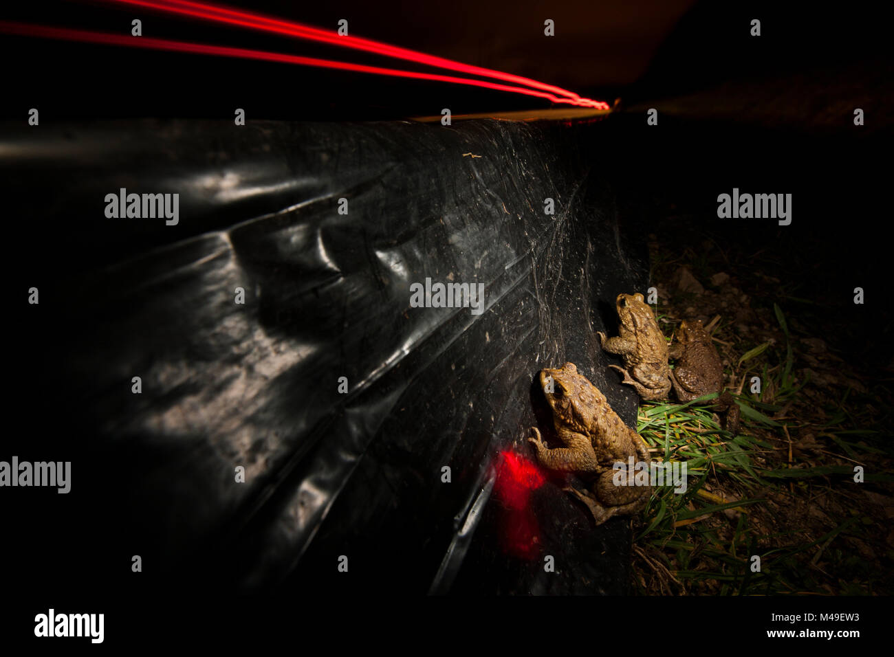 Three European toads (Bufo bufo) moving along a barrier towards an underpass to prevent roadkill during migration, - Stock Image