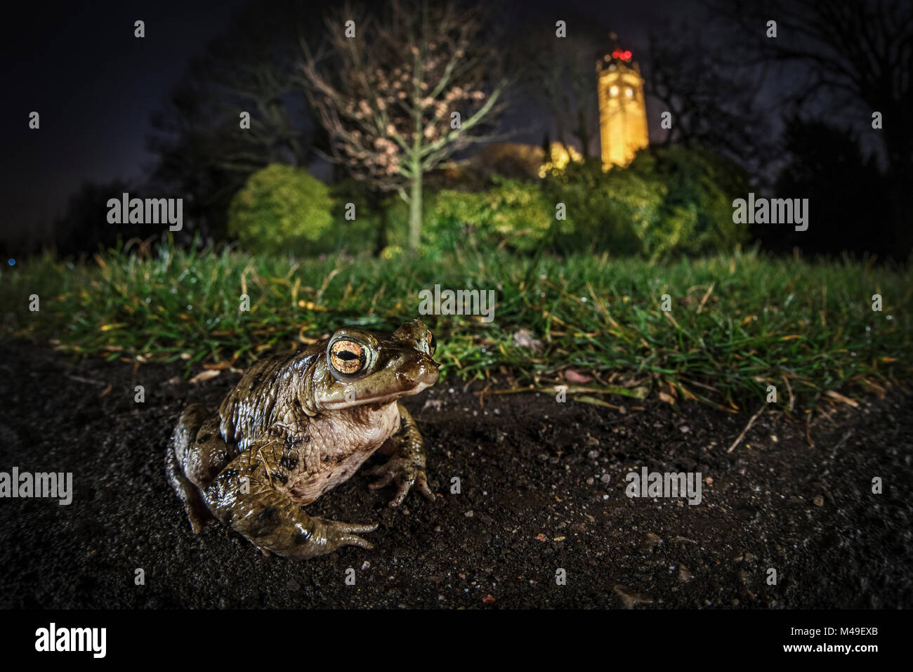 Common toad (Bufo bufo) on Brandon Hill with Cabot Tower in the background, Bristol, UK. March - Stock Image